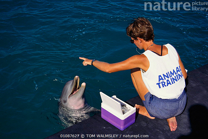 Bottlenose dolphin with trainer {Tursiops truncatus}  Bahamas  ,  BOTTLE NOSE,CAPTIVE,CARIBBEAN,CETACEANS,DOLPHINS,FEEDING,HORIZONTAL,MAMMALS,PEOPLE,TRAINER,TW,West Indies, Mammals  ,  TOM WALMSLEY
