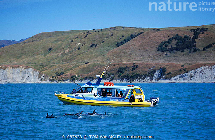 Tourists watch Dusky dolphins from boat. Kaikoura, New Zealand {Lagenorhynchus obscurus}  ,  BOATS,CETACEANS,COASTAL WATERS,COASTS,GROUPS,HORIZONTAL,KAIKOURA,MAMMALS,NEW ZEALAND,PEOPLE,TOURISM,TOURISTS,TW,DOLPHINS, Mammals,AUSTRALASIA  ,  TOM WALMSLEY