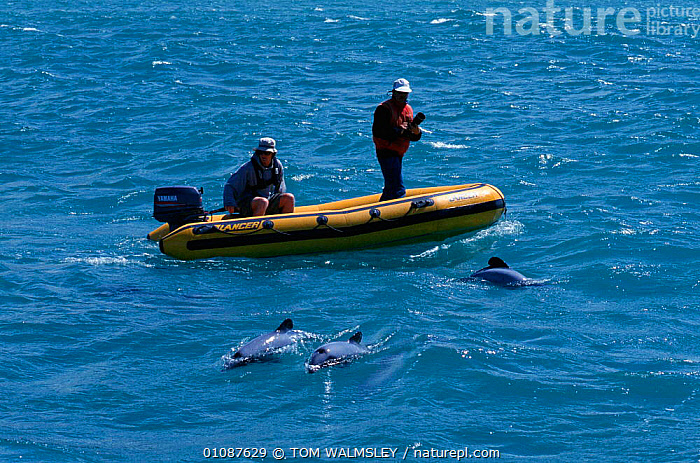 Researchers watch Hectors dolphins {Cephalorhynchus hectori} Akaroa, New Zealand  ,  BOATS,CETACEANS,COASTAL WATERS,HORIZONTAL,MAMMALS,MARINE,NEW ZEALAND,PACIFIC,PEOPLE,RESEARCH,SURFACE,TW,DOLPHINS, Mammals,AUSTRALASIA  ,  TOM WALMSLEY
