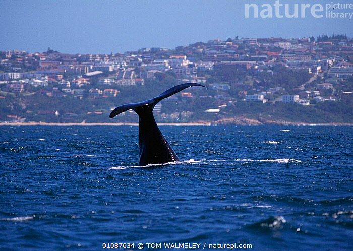 Southern right whale tail fluke {Balaena glacialis australis} off coast of South Africa  ,  AUSTRALIS,BUILDINGS,COASTAL WATERS,COASTS,FLUKE,HORIZONTAL,MAMMALS,MARINE,SOUTH AFRICA,SOUTHERN AFRICA,SURFACE,TAIL,TAILS,TW  ,  TOM WALMSLEY