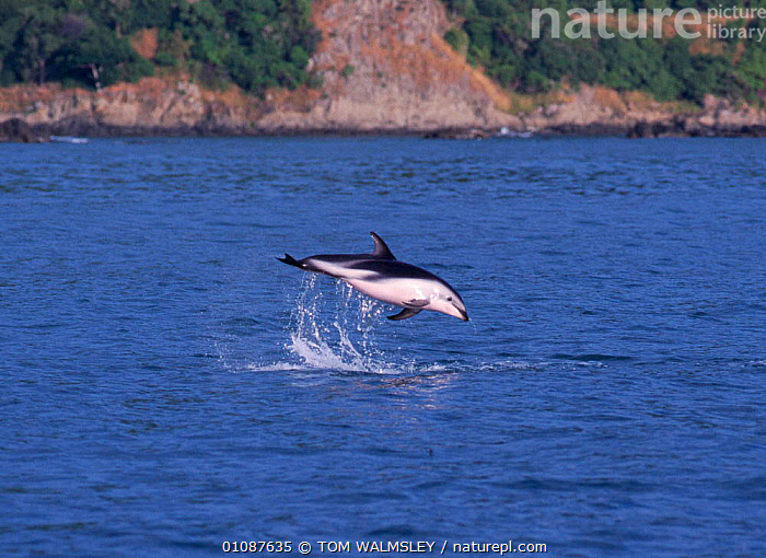 Dusky dolphin breaching {Lagenorhynchus obscurus} Kaikoura, New Zealand  ,  ACTION,BREACHING,CETACEANS,COASTAL WATERS,DOLPHINS,HORIZONTAL,JUMPING,KAIKOURA,LEAPING,MAMMALS,MARINE,NEW ZEALAND,ONE,PACIFIC,SURACE,TW, Mammals  ,  TOM WALMSLEY