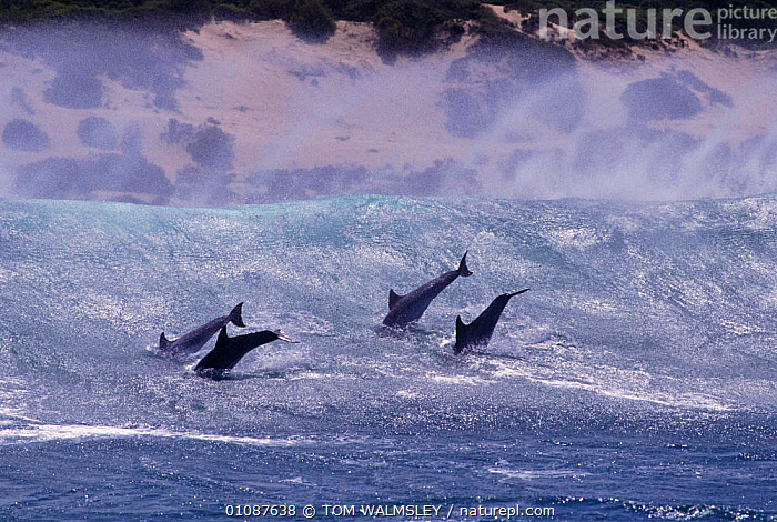 Bottlenose dolphins surfing {Tursiops truncatus} South Africa  ,  ACTION,AFRICA,BOTTLE NOSE,CETACEANS,COASTAL WATERS,COASTS,FOUR,GROUPS,HORIZONTAL,JOY,LEAPING,MAMMALS,MARINE,SOUTH AFRICA,SOUTHERN AFRICA,SURF,SURFACE,SURFING,WAVES,DOLPHINS, Mammals,SPORTS, WATERSPORTS, WATERSPORTS, WATERSPORTS, WATERSPORTS  ,  TOM WALMSLEY