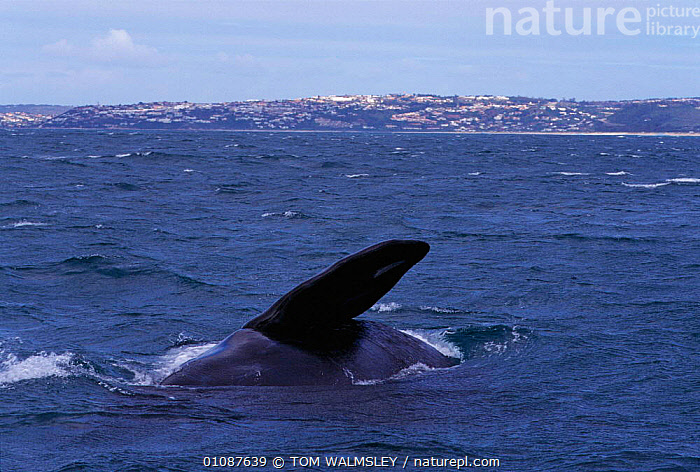 Southern right whale pectoral fin, off coast of South Africa {Balaena glacialis australis}  ,  AFRICA,CETACEANS,COASTAL WATERS,COASTS,FIN,FINS,HORIZONTAL,MAMMALS,MARINE,PECTORAL,SOUTHERN AFRICA,SURFACE,TW  ,  TOM WALMSLEY
