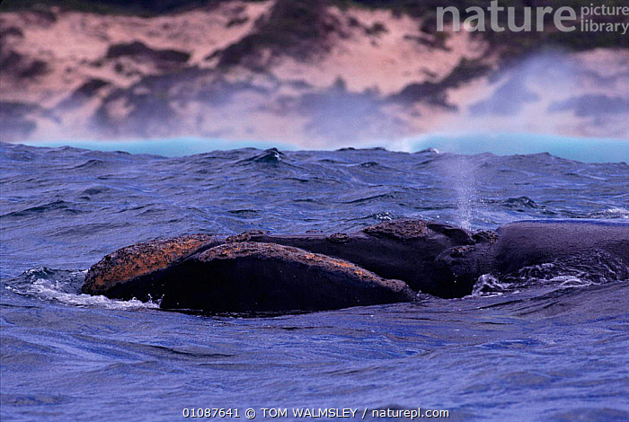 Southern right whale head and blow hole. Off coast of South Africa {Balaena glacialis australis}  ,  AFRICA,BLOW HOLE,BLOWING,CETACEANS,COASTAL WATERS,COASTS,HEAD,HORIZONTAL,MAMMALS,MARINE,SOUTHERN AFRICA,SURFACE,TW  ,  TOM WALMSLEY