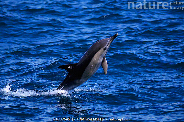 Common dolphin breaching {Delphinus delphis}  Mediterranean off Gibraltar  ,  ACTION,BREACHING,CETACEANS,COASTAL WATERS,EUROPE,GIBRALTAR,HORIZONTAL,JUMPING,LEAPING,MAMMALS,MARINE,MEDITERRANEAN,ONE,SURFACE,TW,DOLPHINS, Mammals  ,  TOM WALMSLEY