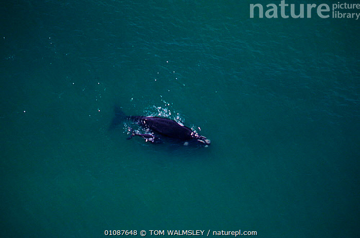 Aerial view of Southern right whale swimming with calf {Balaena glacialis australis} off South Africa.  ,  AERIAL,,AFRICA,BABIES,CETACEANS,COASTAL WATERS,FAMILIES,HORIZONTAL,MAMMALS,MARINE,SOUTHERN AFRICA,SURFACE,TW ,AERIALS  ,  TOM WALMSLEY