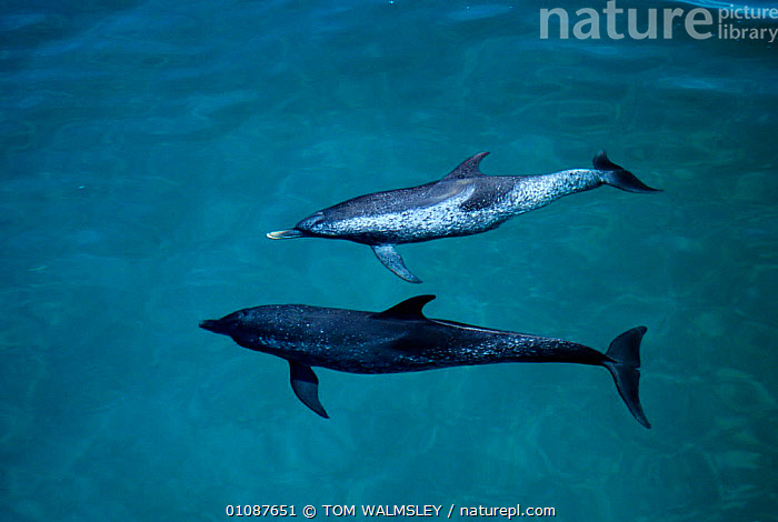 Atlantic spotted dolphins, one is very old {Stenella frontalis} Bimini, Bahamas, Caribbean  ,  35,BAHAMAS,CARIBBEAN,CETACEANS,COASTAL WATERS,DOLPHINS,HORIZONTAL,MAMMALS,MARINE,OLD,SURFACE,TW,TWO,West Indies, Mammals  ,  TOM WALMSLEY