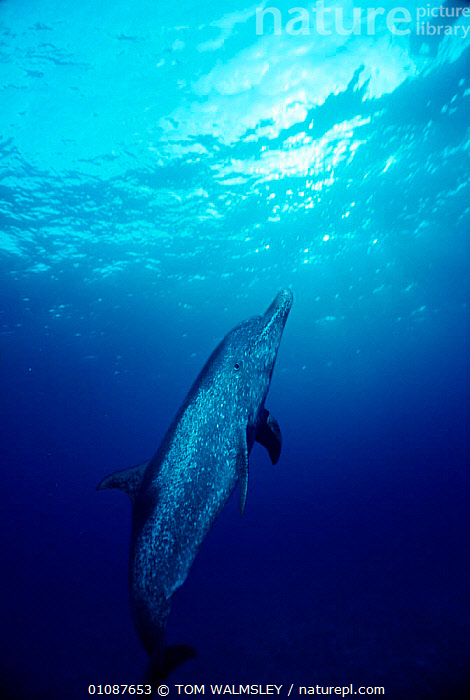 Atlantic spotted dolphin underwater {Stenella frontalis} Bimini, Bahamas, Caribbean. Fully mature individual with spots  ,  CARIBBEAN,CETACEANS,COASTAL WATERS,DOLPHINS,MAMMALS,MARINE,MATURE,ONE,SPOTS,TW,UNDERWATER,VERTICAL,West Indies, Mammals  ,  TOM WALMSLEY