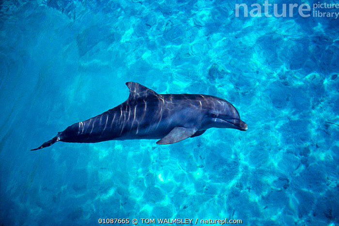 Bottlenose dolphin {Tursiops truncatus}  Bahamas  ,  BAHAMAS,BOTTLE NOSE,CAPTIVE,CARIBBEAN,CETACEANS,DOLPHIN,HORIZONTAL,MAMMALS,MARINE,ONE,PROFILE,TW,DOLPHINS,West Indies, Mammals  ,  TOM WALMSLEY