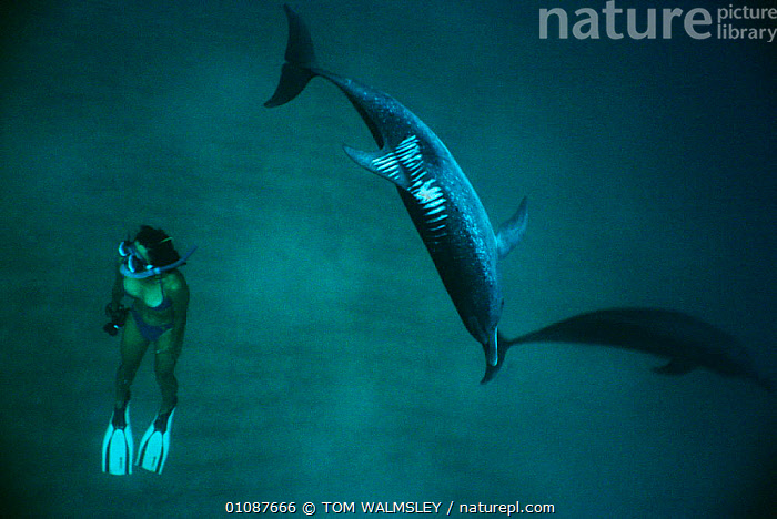 Woman diving and Atlantic spotted dolphin {Stenella frontalis} showing scars from boat propeller injuries  Bimini, Bahamas, Caribbean  ,  BOAT,BOATS,CARIBBEAN,CETACEANS,CUTS,DOLPHINS,HORIZONTAL,MAMMALS,PROPELLER,SCARS,TW,UNDERWATER,WOUNDS,West Indies, Mammals  ,  TOM WALMSLEY