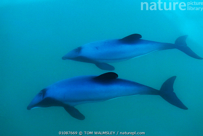 Hectors dolphin mother + calf {Cephalorhynchus hectori} Akaroa, New Zealand  ,  CALF,CETACEANS,COASTAL WATERS,FAMILIES,HORIZONTAL,MAMMALS,MARINE,MOTHER,NEW ZEALAND,PACIFIC,TW,TWO,UNDERWATER,DOLPHINS, Mammals  ,  TOM WALMSLEY
