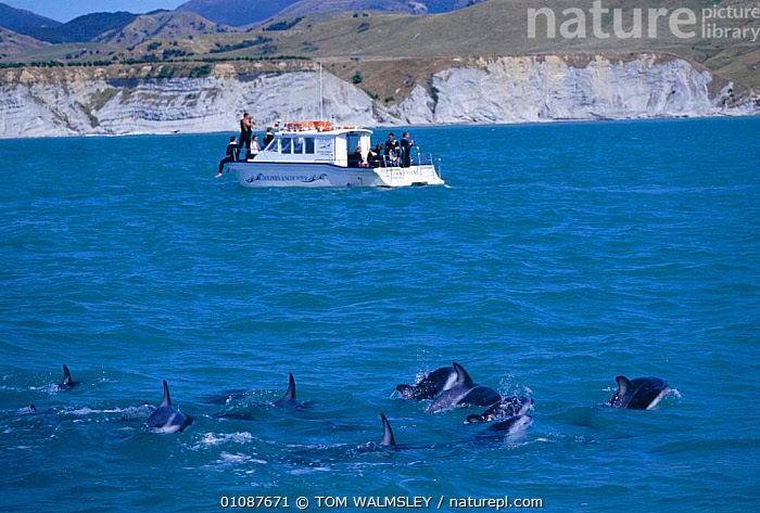 Dusky dolphins + tour boat {Lagenorhynchus obscurus} Kaikoura, New Zealand  ,  BOAT,BOATS,CETACEANS,COASTAL WATERS,HORIZONTAL,KAIKOURA,MAMMALS,NEW ZEALAND,PEOPLE,TOURISM,TW,WATCHING,WHALE,DOLPHINS, Mammals,AUSTRALASIA  ,  TOM WALMSLEY