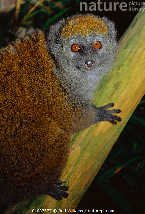 Female Alaotran gentle lemur {Hapalemur griseus alaotrensis} Madagascar. Critically endangered species  ,  CAPTIVE,ENDANGERED,FACES,FEMALE,LEMURS,MADAGASCAR,MAMMALS,PORTRAITS,PRIMATES,RWI,THREATENED,VERTICAL, Lac Alaotra bamboo lemur  ,  Rod Williams