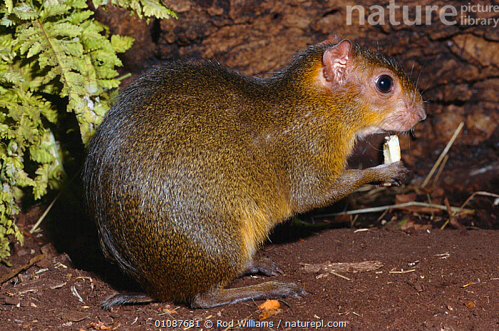 Green acouchi feeding {Myoprocta acouchy} endangered species occurs Amazon Basin, South America  ,  CAPTIVE,EATING,ENDANGERED,FEEDING,HORIZONTAL,MAMMALS,PORTRAITS,PROFILE,RODENTS,RWI,SOUTH AMERICA,THREATENED,WILLIAMS  ,  Rod Williams
