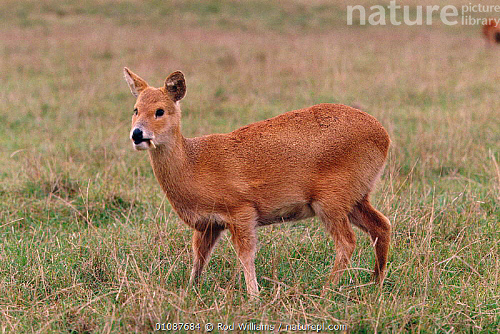 Male Chinese water deer {Hydropotes inermis} native to China  ,  ARTIODACTYLA,CAPTIVE,CERVIDS,CHINA,ENDANGERED,HORIZONTAL,LOW RISK,LR,MALE,MALES,MAMMALS,PROFILES,RWI,THREATENED,ASIA  ,  Rod Williams