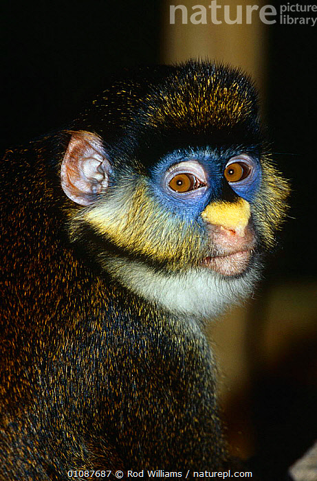 Female Schmidt's guenon {Cercopithecus ascanius schmidti} Captive, from Central Africa. (Subspcies of redtail monkey).  ,  CENTRAL AFRICA,COLOURFUL,EYES,FACES,FEMALES,GUENONS,MAMMALS,MONKEYS,PORTRAITS,PRIMATES,VERTEBRATES,VERTICAL,Africa  ,  Rod Williams