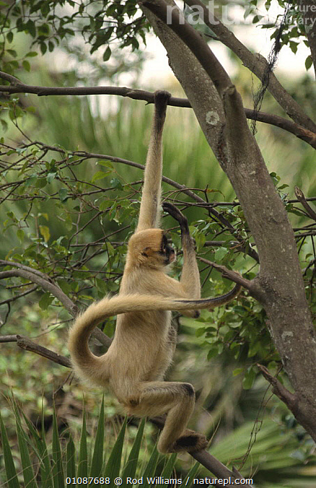 Black handed spider monkey (Ateles geoffroyi) in tree, captive  ,  CENTRAL AMERICA,FEEDING,MAMMALS,MONKEYS,PRIMATES,SPIDER MONKEYS,TAILS,TREES,VERTEBRATES,VERTICAL,Plants  ,  Rod Williams