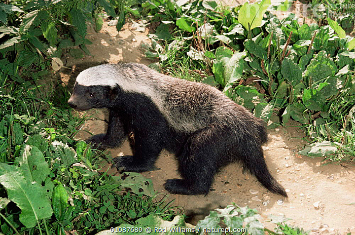 Ratel / Honey badger {Mellivora capensis}  captive, occurs in Africa, India & SW Asia, female  ,  AFRICA,ASIA,BADGERS,CARNIVORES,FEMALES,HORIZONTAL,INDIAN SUBCONTINENT,MAMMALS,MUSTELIDS,PORTRAITS,VERTEBRATES  ,  Rod Williams