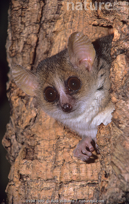 Lesser mouse / Grey lemur {Microcebus murinus} looking out of hole in tree trunk, captive, from Western Madagascar  ,  CUTE,EYES,FACES,HEADS,LEMURIDAE,LEMURS,MADAGASCAR,MAMMALS,PORTRAITS,PRIMATES,VERTEBRATES,VERTICAL  ,  Rod Williams