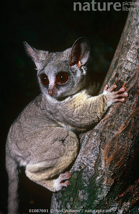 Northern lesser bushbaby {Galago senegalensis} captive, from tropical Africa  ,  AFRICA,BUSHBABIES,CUTE,HANDS,MAMMALS,NIGHT,NOCTURNAL,PORTRAITS,PRIMATES,VERTEBRATES,VERTICAL  ,  Rod Williams