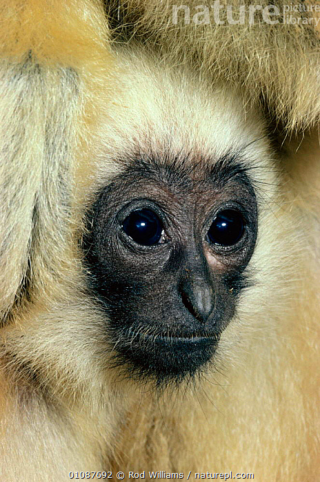 Young male Black Concolor gibbon portrait {Hylobates concolor} occurs Vietnam, N Laos, Isle of Hainan  ,  CAPTIVE,ENDANGERED,FACES,HEADS,MALES,MAMMALS,MONKEYS,PORTRAITS,PRIMATES,RWI,SOUTH EAST ASIA,THREATENED,VERTICAL,WHITE,ASIA,GIBBONS,APES  ,  Rod Williams