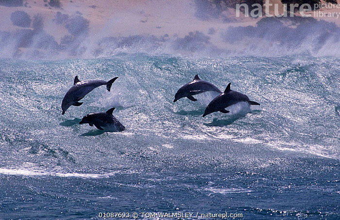 Group of Bottlenose dolphins surfing in wave {Tursiops truncatus} South Africa  ,  ACTION,AFRICA,CETACEANS,COASTAL WATERS,COASTS,DRAMATIC,FOUR,FUN,GROUP,GROUPS,HORIZONTAL,JUMPING,LAND,LEAPING,MAMMALS,MARINE,PALYING,PLAY,SEA,SOUTHERN AFRICA,SURFACE,SURFING,TW,WAVE,WAVES,COMMUNICATION,DOLPHINS, Mammals,CONCEPTS,SPORTS, WATERSPORTS, WATERSPORTS, WATERSPORTS  ,  TOM WALMSLEY