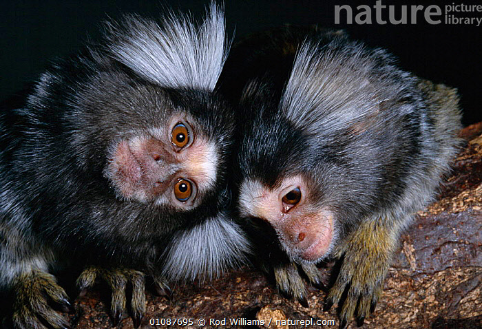 Young Common marmosets {Callithrix jacchus} native to north-east Brazil, S America  ,  AFFECTIONATE,BRAZIL,CAPTIVE,CUTE,FACES,HEADS,HORIZONTAL,JUVENILE,MAMMALS,PRIMATES,RWI,SOUTH AMERICA,TWO,YOUNG,CONCEPTS  ,  Rod Williams