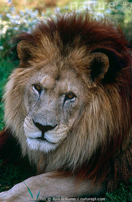 Male Barbary / Atlas lion {Panthera leo leo} captive, Extinct in the wild  ,  BIG CATS,CARNIVORES,CATS,EXTINCT,FACES,LIONS,MALES,MAMMALS,NORTH AFRICA,PORTRAITS,VERTEBRATES,VERTICAL,Africa  ,  Rod Williams