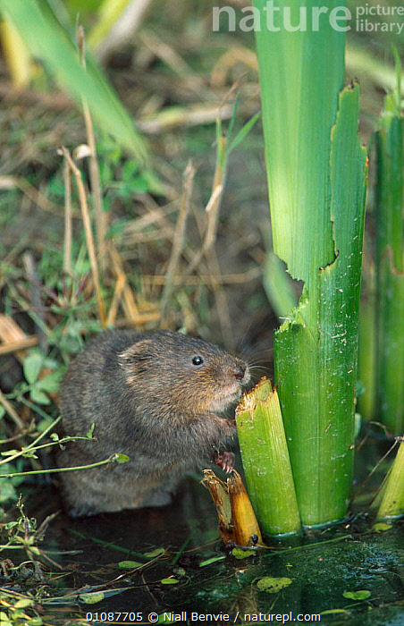 Water vole juvenile feeding {Arvicola terrestris} captive Kent  ,  ENGLAND,EUROPE,FRESHWATER,MAMMALS,RIVERS,RODENTS,VERTICAL,VOLES,WETLANDS,Muridae  ,  Niall Benvie