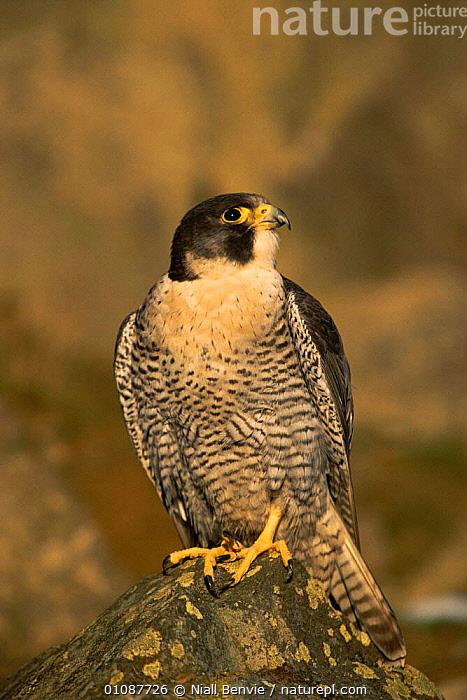 Peregrine falcon male {Falco peregrinus} Scotland, UK Scottish race, third year male  ,  BIRD,,BIRDS,CAPTIVE,EUROPE,MALES,NB,ONE,RACE,SCOTLAND,UK,VERTICAL ,BIRDS OF PREY,UNITED KINGDOM,BRITISH  ,  Niall Benvie
