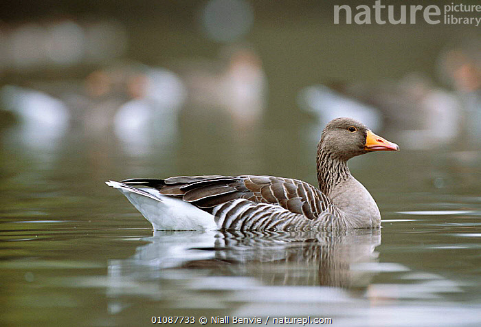Greylag goose on water {Anser anser} Linlithgow, Scotland, UK  ,  BIRDS,EUROPE,HORIZONTAL,LAKES,NB,ONE,PROFILES,SCOTLAND,UK,WATER,WATERFOWL,UNITED KINGDOM,BRITISH,WILDFOWL, waterfowl  ,  Niall Benvie