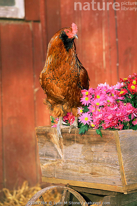 Domestic chicken, Americana breed {Gallus gallus domesticus} USA.  ,  BIRDS,FLOWERS,GALLIFORMES,GARDENS,LIVESTOCK,POULTRY,USA,VERTEBRATES,VERTICAL,North America  ,  Lynn M Stone