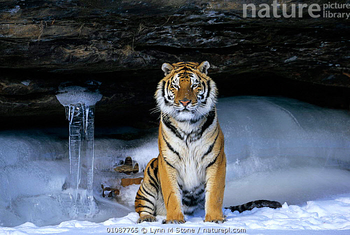 Siberian tiger in snow {Panthera tigris altaica}  ,  CAPTIVE,CARNIVORES,HORIZONTAL,LS,MAMMALS,ONE,SNOW,TIGERS,VERTICAL,WINTER,BIG CATS  ,  Lynn M Stone
