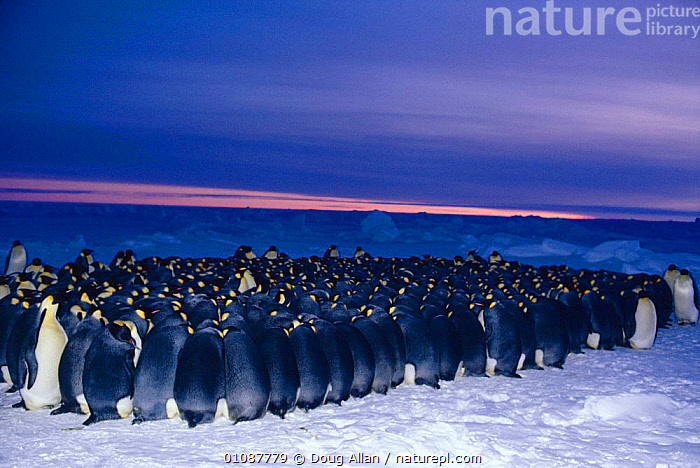Emperor penguin {Aptenodytes forsteri} males huddle for warmth in minus 40 degrees centigrade while incubating eggs in winter, Antarctica Winter extreme cold survival birds seabirds nesting-behaviour  ,  35,40,ALLAN,ANTARCTICA,BIRDS,COLD,DA,DEGREES,DOUG,EGGS,EXTREME,HUDDLE,INCUBATING,MALES,NESTING BEHAVIOUR,PENGUINS,REPRODUCTION,SEABIRDS,SURVIVAL,WINTER, Seabirds,Catalogue1  ,  Doug Allan