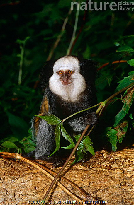 Geoffroy's marmoset {Callithrix geoffroyi} captive, from Brazil  ,  ENDANGERED,MAMMALS,MARMOSETS,PORTRAITS,PRIMATES,SOUTH AMERICA,VERTEBRATES,VERTICAL  ,  Rod Williams