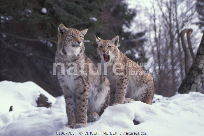 Two lynx sitting in snow {Lynx lynx} Czechslovakia, Europe captive  ,  CARNIVORES,COLD,CATS,THREATENED,ENDANGERED  ,  VINCENT MUNIER