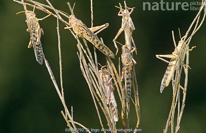 Group of Desert locusts (Schistocerca gregaria) Africa  ,  AFRICA,DAMAGE,GRASSHOPPERS,GROUPS,INSECTS,INVERTEBRATES,ORTHOPTERA,PESTS,SHORT HORNED GRASSHOPPERS,SWARMS  ,  Ingo Arndt