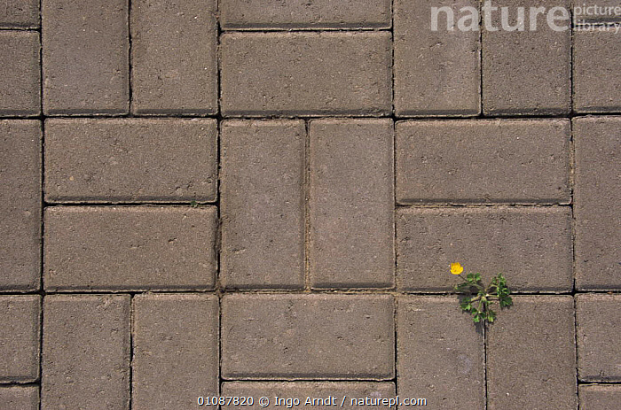 Creeping buttercup {Ranunculus repens} growing amongst paving stones, Netherlands  ,  ABSTRACTS,ARTY SHOTS,FLOWERS,GARDENS,HORIZONTAL,PATTERNS,PLANTS,URBAN,VERTICAL,WEEDS  ,  Ingo Arndt