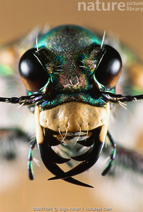 Tiger beetle close up of mouthparts {Cicindela hydriba} Hessen, Germany  ,  CLOSE UPS,COLEOPTERA,EUROPE,EYES,FACES,HEADS,IAR,INERTEBRATE,INSECTS,INVERTEBRATES,MOUTHPARTS,MOUTHS,UP,VERTICAL,Catalogue1  ,  Ingo Arndt
