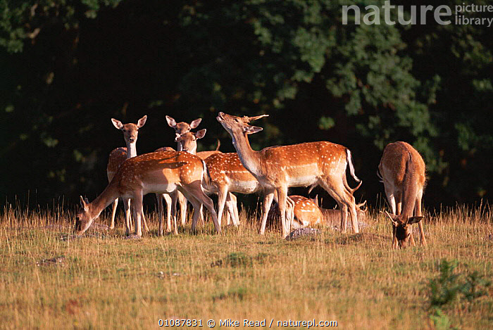 Fallow deer does with young buck {Dama dama} New Forest, Hants, UK  ,  ARTIODACTYLA,BRITISH,DOES,ENGLAND,EUROPE,FLEHMEN,FOREST,GROUPS,HERD,MAMMALS,MATING BEHAVIOUR,MRE,REPRODUCTION,RESERVE,UK,UNITED KINGDOM  ,  Mike Read