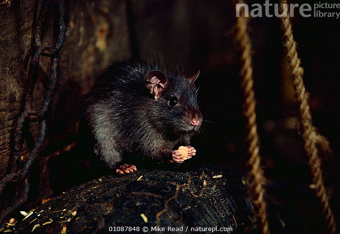 Black rat feeding {Rattus rattus}  UK  ,  CAPTIVE,ENGLAND,EUROPE,FEEDING,HORIZONTAL,MAMMALS,MRE,PESTS,RODENTS,UK,UNITED KINGDOM,BRITISH,MURIDAE, United Kingdom, United Kingdom  ,  Mike Read