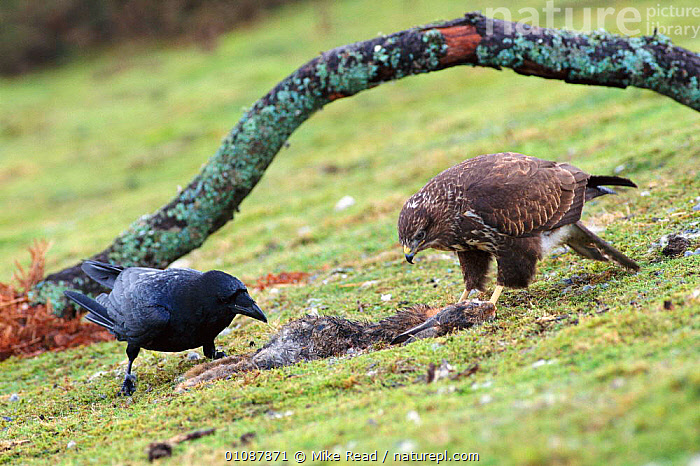 Common buzzard {Buteo buteo} and Raven {Corvus corax} share rabbit carcass. Wales, UK  ,  ,BIRDS,BRITISH,EUROPE,FEEDING,HORIZONTAL,MIXED,MIXED SPECIES,MRE,POWYS,TWO,UK,WALES,WILDLIFE ,BIRDS OF PREY,UNITED KINGDOM,HAWKS  ,  Mike Read