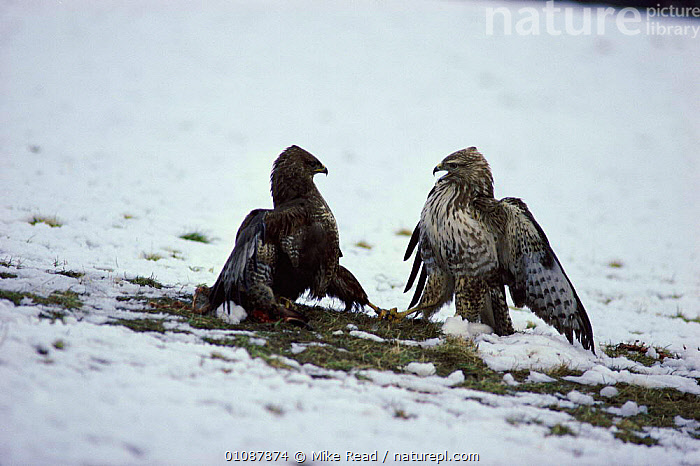 Common buzzards fighting over rabbit carcass {Buteo buteo} Powys, Wales, UK  Rhayader  ,  AGGRESSION,BEHAVIOUR,,BIRDS,BRITISH,COMPETITION,DISPUTE,EUROPE,FIGHTING,FOOD,HORIZONTAL,MRE,POWYS,TWO,UK,WALES,WILDLIFE,WINTER ,BIRDS OF PREY,UNITED KINGDOM,CONCEPTS,HAWKS  ,  Mike Read