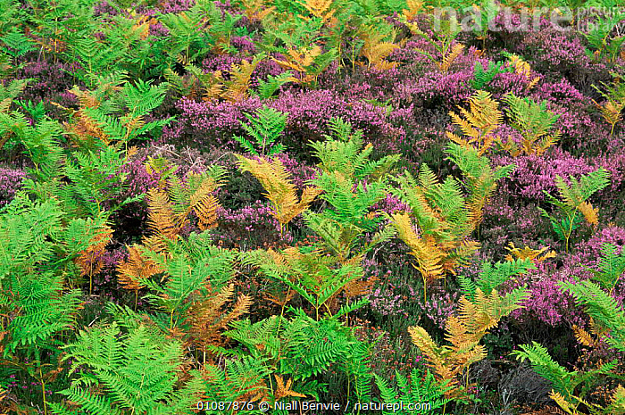 Heather moorlands bracken {Pteridium aquilinum} and heather, Glen Esk, Angus, Scotland  ,  EUROPE,HABITAT,HEATHLAND,MACRO,MIXED SPECIES,MOORLAND,PLANTS,SCOTLAND,UK,WETLANDS,United Kingdom,British  ,  Niall Benvie