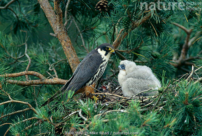 Hobby {Falco subbuteo} with 15-day-old chick in nest in Scots pine tree, Hampshire, UK  ,  BABIES,,BIRDS,CHICK,ENGLAND,EUROPE,FAMILIES,HAMPSHIRE,HORIZONTAL,UK,WOODLANDS ,BIRDS OF PREY,UNITED KINGDOM,BRITISH,FALCONS  ,  Mike Read