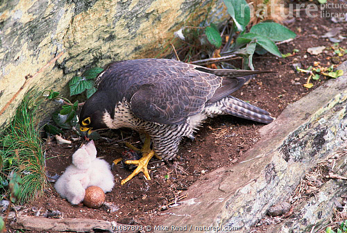 Peregrine falcon female feeds chick in nest. Wales, UK {Falco peregrinus}  ,  BABIES,,BIRDS,BROODING,CHICK,CLIFFS,EUROPE,FAMILIES,FEEDING,FEMALES,HORIZONTAL,MRE,NESTS,PARENTAL,UK,WALES ,BIRDS OF PREY,UNITED KINGDOM,GEOLOGY,BRITISH  ,  Mike Read