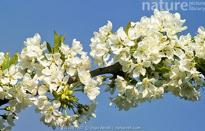 Cherry tree blossom {Prunus avium}, Germany  ,  CUTOUT,DICOTYLEDONS,EUROPE,FLOWERS,GERMANY,HORIZONTAL,PLANTS,ROSACEAE,SPRING,TREES  ,  Ingo Arndt
