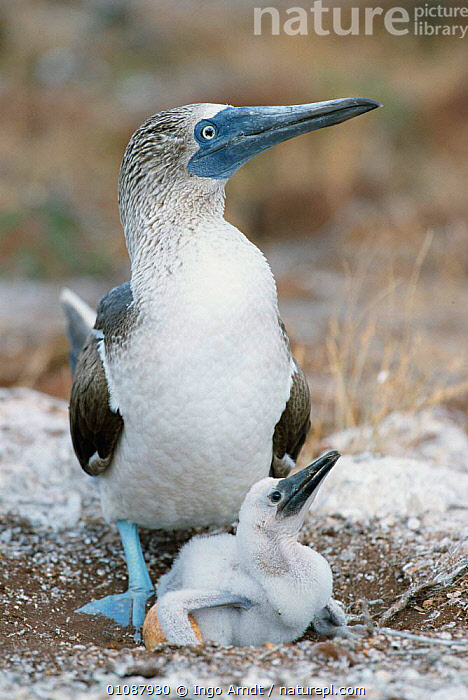 Blue footed booby with chick and egg at ground nest {Sula nebouxii} Seymour Is, Galapagos  ,  BABIES,BIRD,BIRDS,CHICK,EGGS,FAMILIES,GALAPAGOS,HORIZONTAL,IAR,NESTS,SEABIRDS,VERTICAL  ,  Ingo Arndt