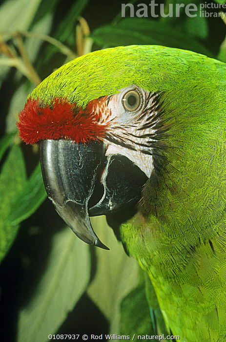 Female Military macaw head portrait {Ara militaris} captive, occurs in Central and South America  ,  BIRDS,CENTRAL AMERICA,COLOURFUL,FACES,FEMALES,HEADS,MACAWS,PARROTS,PORTRAITS,SOUTH AMERICA,VERTEBRATES,VERTICAL  ,  Rod Williams