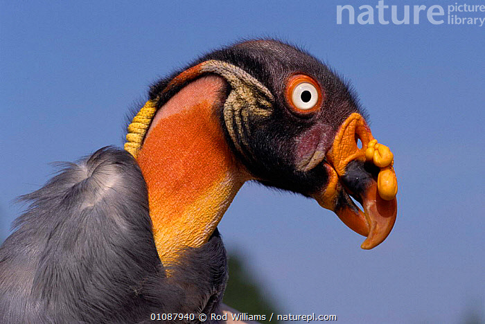 Female King vulture head portrait {Sarcorhamphus papa} occurs  in Central & South America  ,  BEAKS,BIRDS,BIRDSOFPREY,BIZARRE,CAPTIVE,COLOURFUL,FACES,FEMALES,HEAD,HEADS,HORIZONTAL,NECK,NECKS,PORTRAIT,PORTRAITS,RWI  ,  Rod Williams